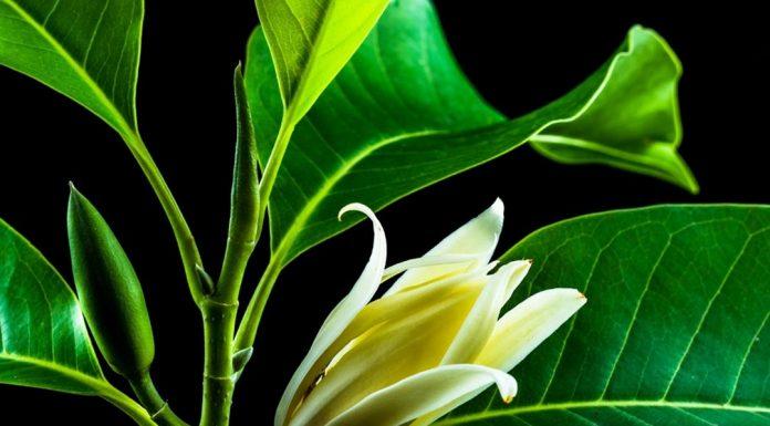khasiat bunga cempaka